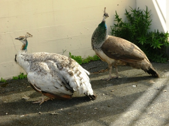 Female peacocks, Royal Roads University.