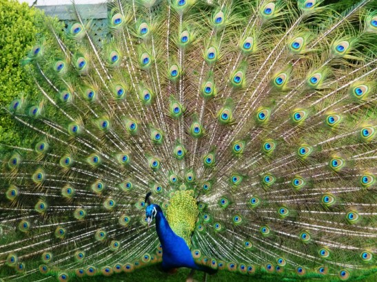 Male peacock in mating display, Royal Roads University.