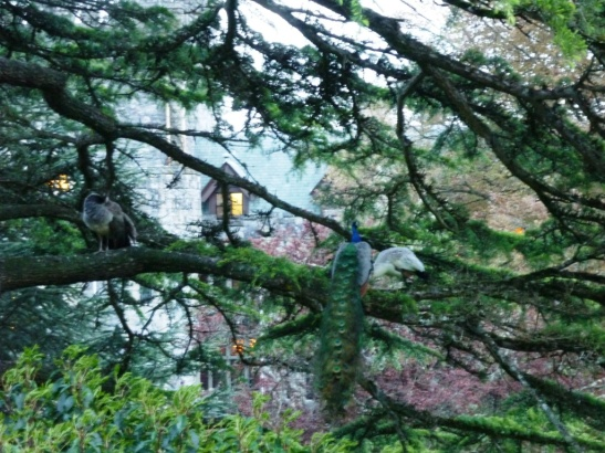 Male and female peacocks in a tree, Royal Roads University.