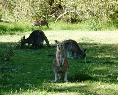 Grazing kangaroos, Grampians National Park, Australia