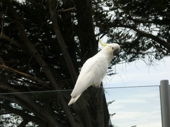 An urban Cockatoo, Warrnambool, Australia